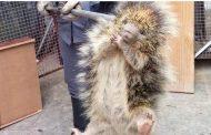 Bombeiros capturam ouriço em residência
